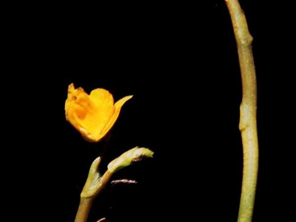 Lesser Bladderwort (Utricularia Minor) http://www.sagebud.com/lesser-bladderwort-utricularia-minor/