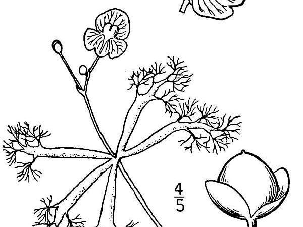 Little Floating Bladderwort (Utricularia Radiata) http://www.sagebud.com/little-floating-bladderwort-utricularia-radiata/