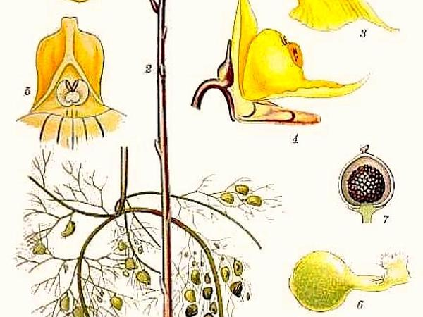 Bladderwort (Utricularia) http://www.sagebud.com/bladderwort-utricularia
