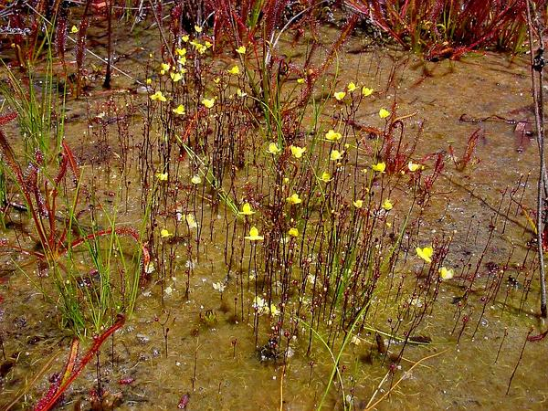 Zigzag Bladderwort (Utricularia Subulata) http://www.sagebud.com/zigzag-bladderwort-utricularia-subulata/