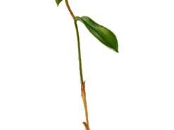 Sessileleaf Bellwort (Uvularia Sessilifolia) http://www.sagebud.com/sessileleaf-bellwort-uvularia-sessilifolia/