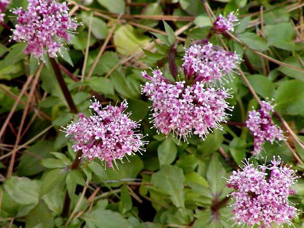 Arizona Valerian (Valeriana Arizonica) http://www.sagebud.com/arizona-valerian-valeriana-arizonica