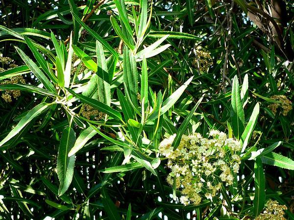 Arizona Rosewood (Vauquelinia Californica) http://www.sagebud.com/arizona-rosewood-vauquelinia-californica/