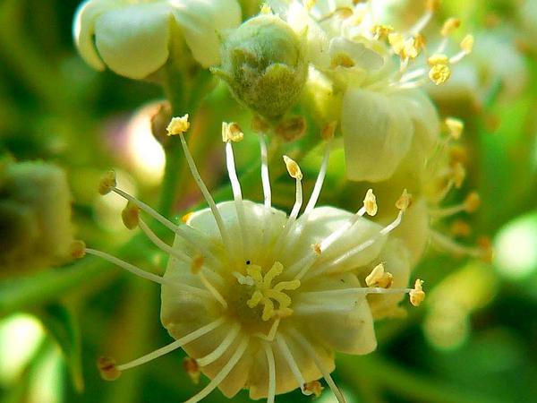 Arizona Rosewood (Vauquelinia Californica) http://www.sagebud.com/arizona-rosewood-vauquelinia-californica