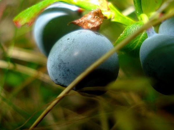 Blueberry (Vaccinium) http://www.sagebud.com/blueberry-vaccinium