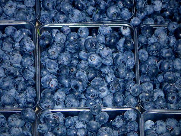 Highbush Blueberry (Vaccinium Corymbosum) http://www.sagebud.com/highbush-blueberry-vaccinium-corymbosum/