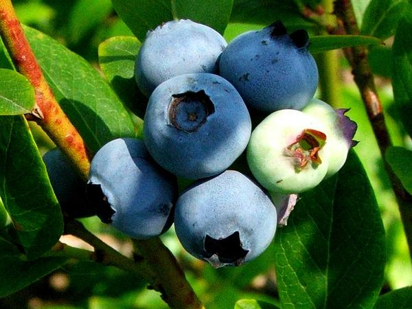 Highbush Blueberry (Vaccinium Corymbosum) http://www.sagebud.com/highbush-blueberry-vaccinium-corymbosum