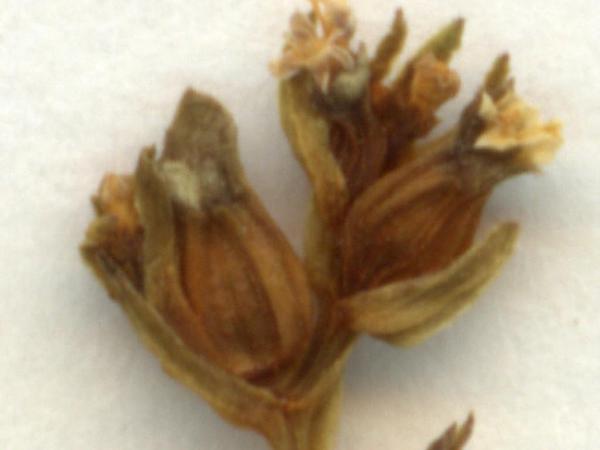 Narrowfruit Cornsalad (Valerianella Dentata) http://www.sagebud.com/narrowfruit-cornsalad-valerianella-dentata