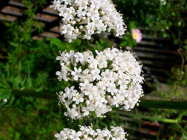 Valerian (Valeriana) http://www.sagebud.com/valerian-valeriana/