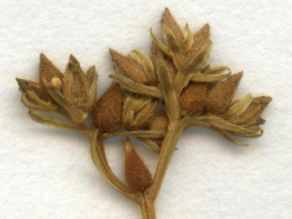 Cornsalad (Valerianella) http://www.sagebud.com/cornsalad-valerianella/
