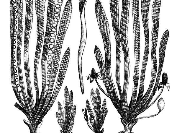 Eelgrass (Vallisneria) http://www.sagebud.com/eelgrass-vallisneria/