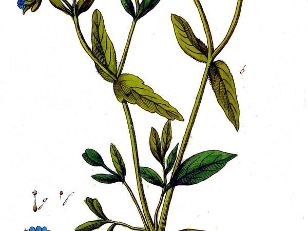 Lewiston Cornsalad (Valerianella Locusta) http://www.sagebud.com/lewiston-cornsalad-valerianella-locusta/