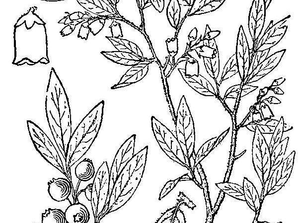 Velvetleaf Huckleberry (Vaccinium Myrtilloides) http://www.sagebud.com/velvetleaf-huckleberry-vaccinium-myrtilloides