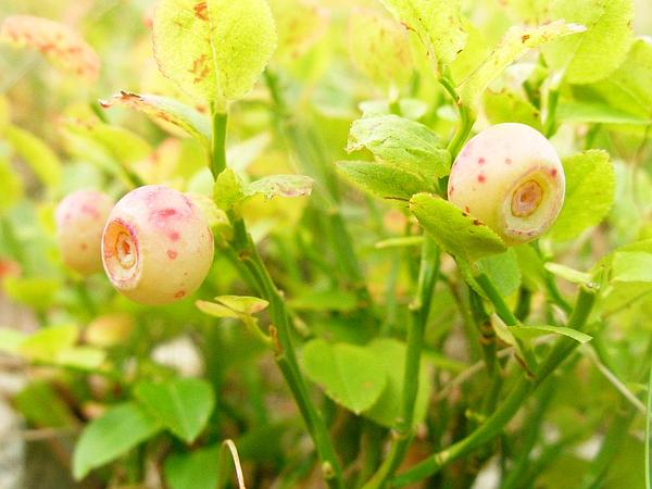 Whortleberry (Vaccinium Myrtillus) http://www.sagebud.com/whortleberry-vaccinium-myrtillus