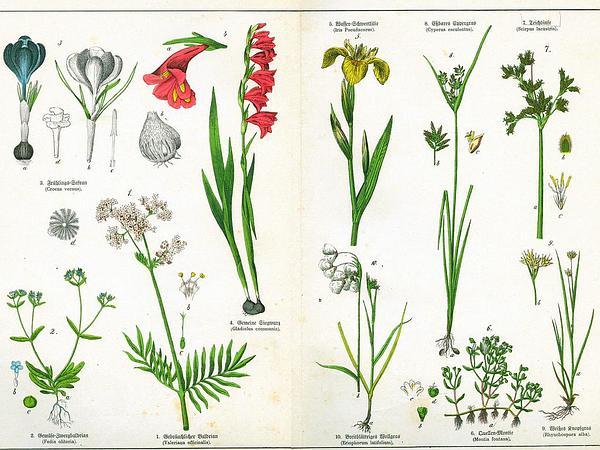 Garden Valerian (Valeriana Officinalis) http://www.sagebud.com/garden-valerian-valeriana-officinalis