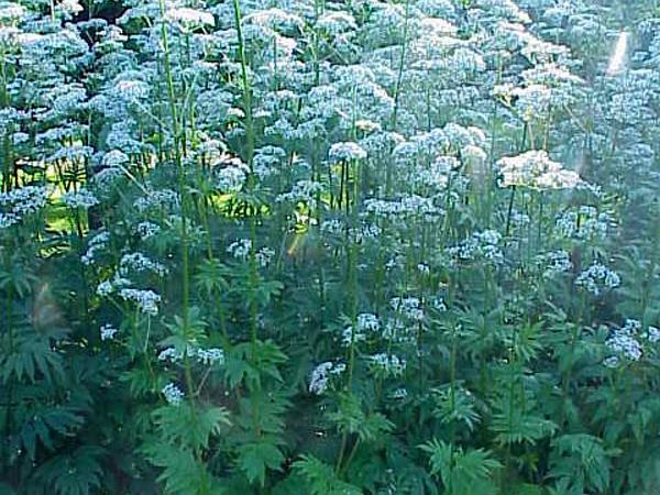 Garden Valerian (Valeriana Officinalis) http://www.sagebud.com/garden-valerian-valeriana-officinalis/