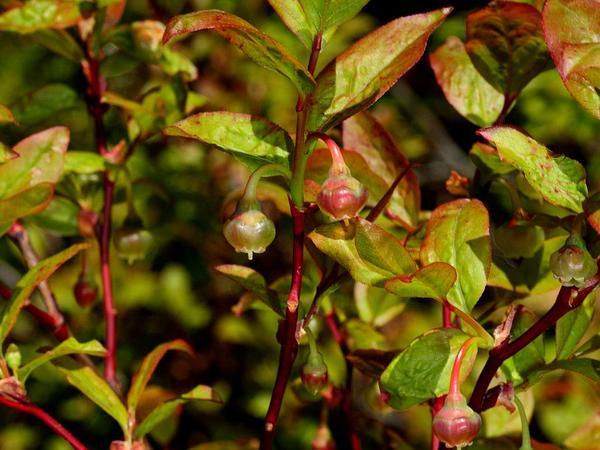Oval-Leaf Blueberry (Vaccinium Ovalifolium) http://www.sagebud.com/oval-leaf-blueberry-vaccinium-ovalifolium/