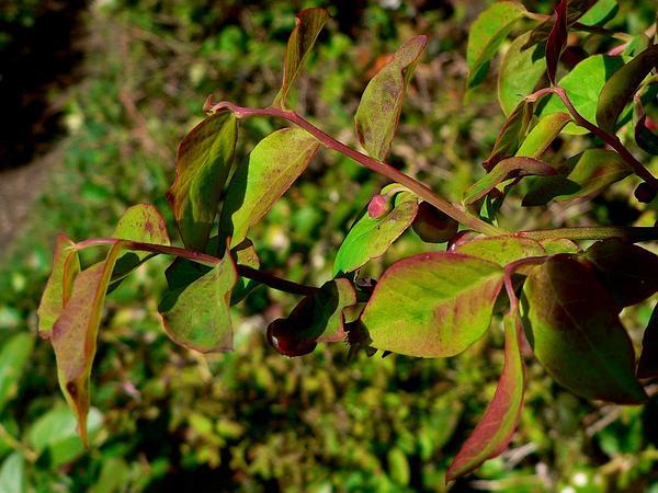 Red Huckleberry (Vaccinium Parvifolium) http://www.sagebud.com/red-huckleberry-vaccinium-parvifolium