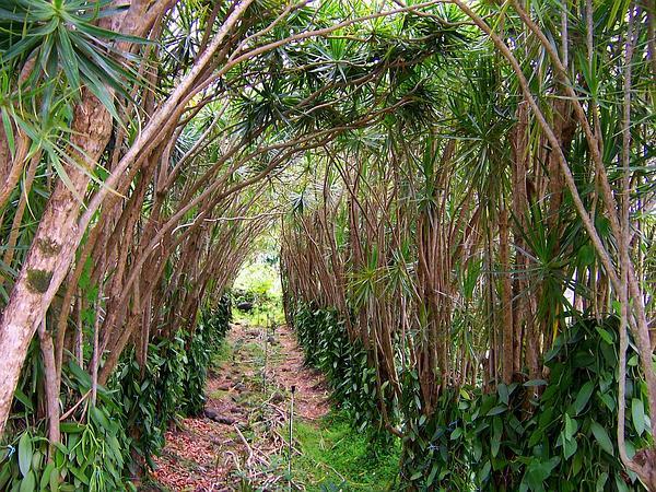 Vanilla (Vanilla Planifolia) http://www.sagebud.com/vanilla-vanilla-planifolia