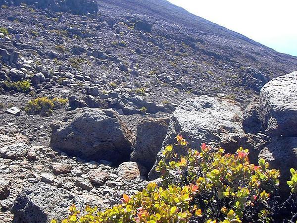 Ohelo 'Ai (Vaccinium Reticulatum) http://www.sagebud.com/ohelo-ai-vaccinium-reticulatum