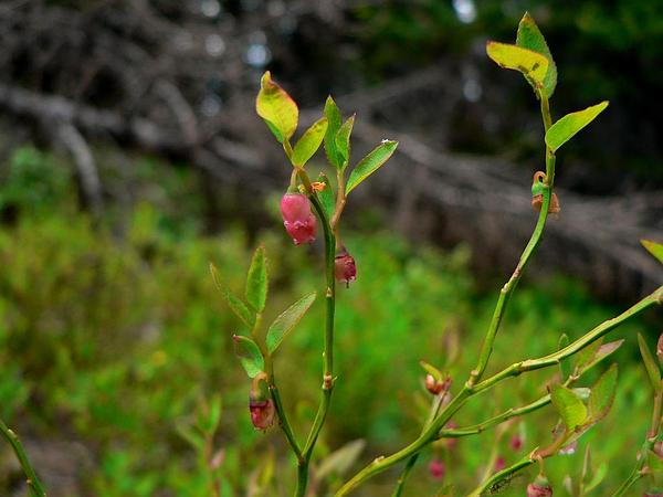 Grouse Whortleberry (Vaccinium Scoparium) http://www.sagebud.com/grouse-whortleberry-vaccinium-scoparium/