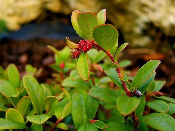 Lingonberry (Vaccinium Vitis-Idaea) http://www.sagebud.com/lingonberry-vaccinium-vitis-idaea/