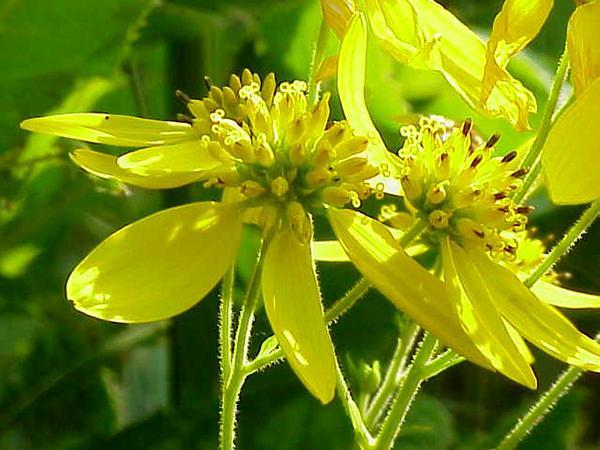 Wingstem (Verbesina Alternifolia) http://www.sagebud.com/wingstem-verbesina-alternifolia