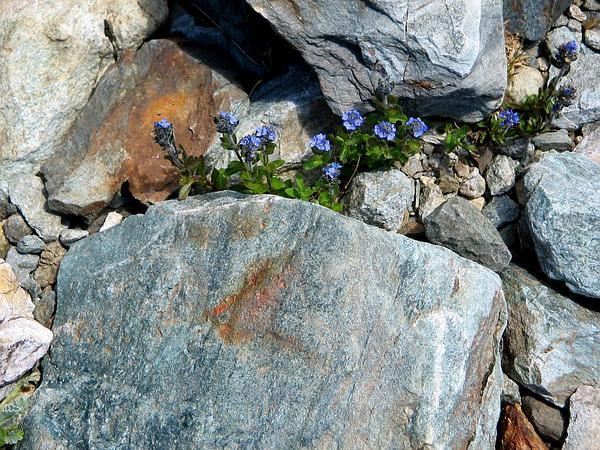 Alpine Speedwell (Veronica Alpina) http://www.sagebud.com/alpine-speedwell-veronica-alpina