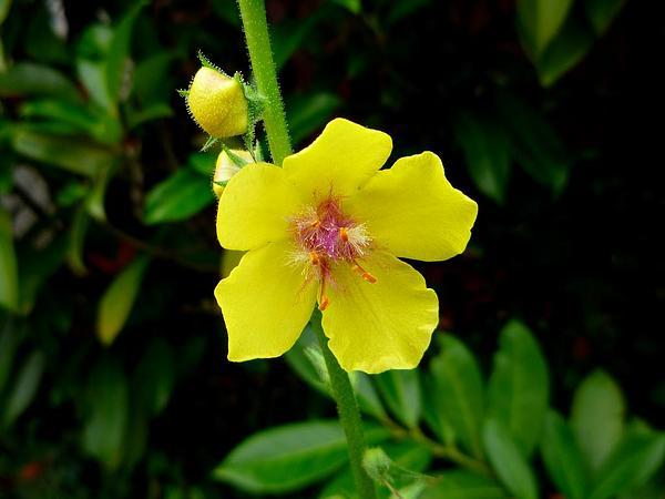 Moth Mullein (Verbascum Blattaria) http://www.sagebud.com/moth-mullein-verbascum-blattaria