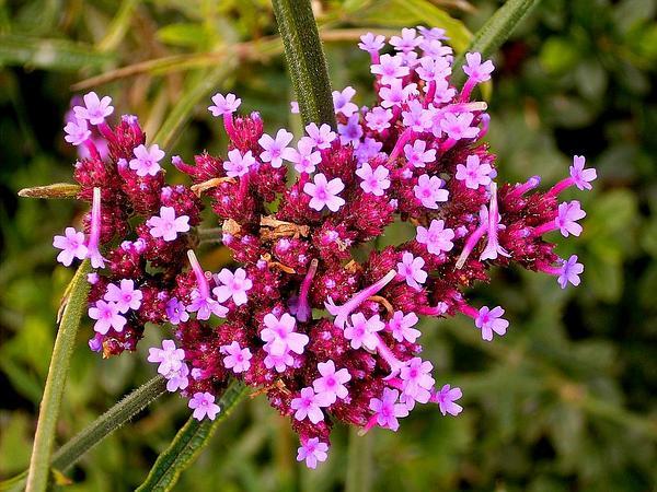 Purpletop Vervain (Verbena Bonariensis) http://www.sagebud.com/purpletop-vervain-verbena-bonariensis/