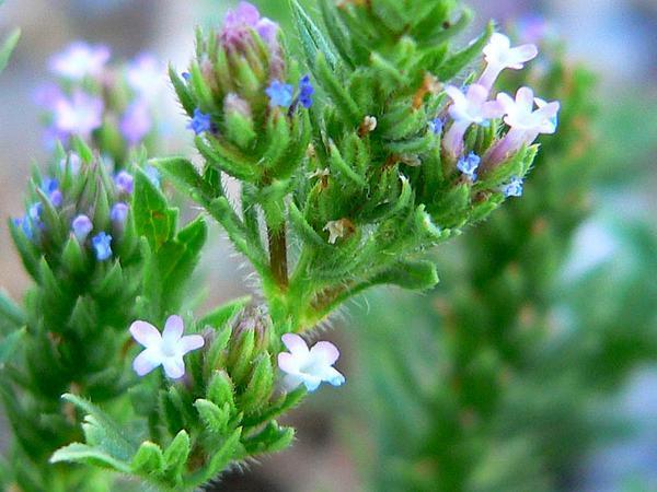 Bigbract Verbena (Verbena Bracteata) http://www.sagebud.com/bigbract-verbena-verbena-bracteata