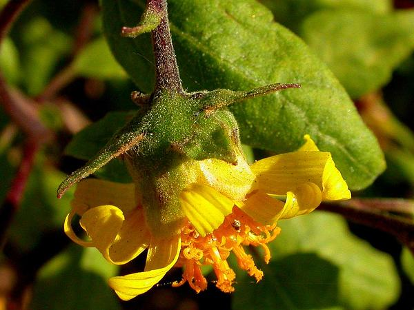 Canyon Sunflower (Venegasia Carpesioides) http://www.sagebud.com/canyon-sunflower-venegasia-carpesioides/