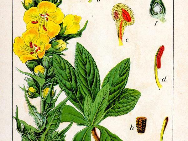 Denseflower Mullein (Verbascum Densiflorum) http://www.sagebud.com/denseflower-mullein-verbascum-densiflorum/