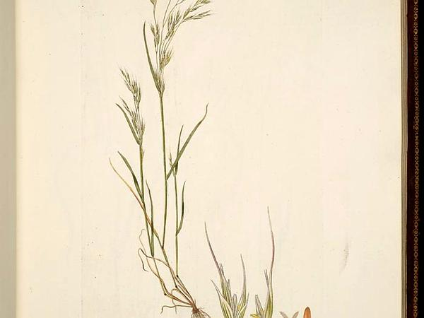 North Africa Grass (Ventenata Dubia) http://www.sagebud.com/north-africa-grass-ventenata-dubia/