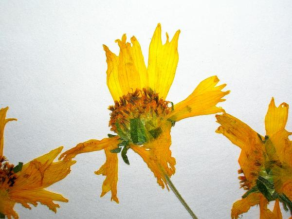 Golden Crownbeard (Verbesina Encelioides) http://www.sagebud.com/golden-crownbeard-verbesina-encelioides/
