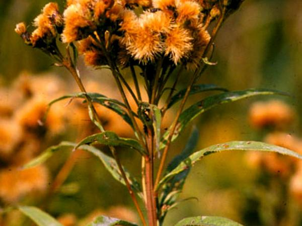 Prairie Ironweed (Vernonia Fasciculata) http://www.sagebud.com/prairie-ironweed-vernonia-fasciculata/