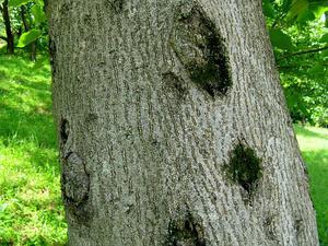 Tungoil Tree