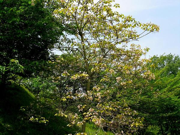 Tungoil Tree (Vernicia Fordii) http://www.sagebud.com/tungoil-tree-vernicia-fordii
