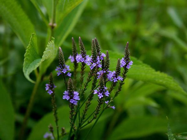 Swamp Verbena (Verbena Hastata) http://www.sagebud.com/swamp-verbena-verbena-hastata