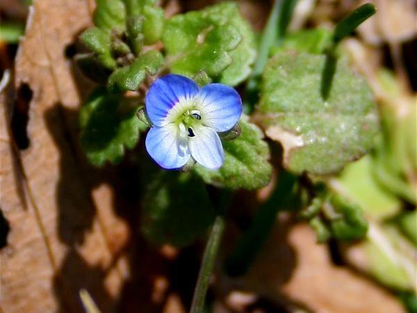 Ivyleaf Speedwell (Veronica Hederifolia) http://www.sagebud.com/ivyleaf-speedwell-veronica-hederifolia/