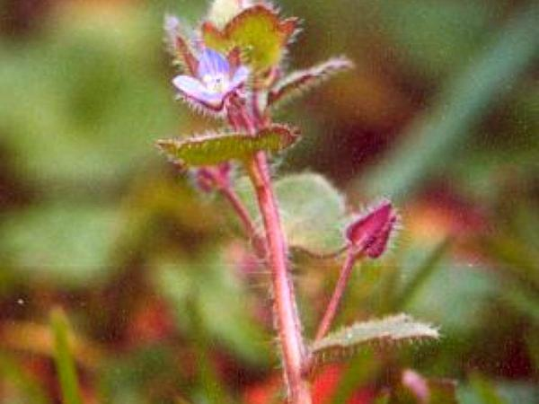 Ivyleaf Speedwell (Veronica Hederifolia) http://www.sagebud.com/ivyleaf-speedwell-veronica-hederifolia