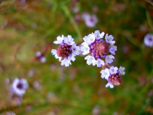 Seashore Vervain (Verbena Litoralis) http://www.sagebud.com/seashore-vervain-verbena-litoralis/