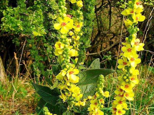 Black Mullein (Verbascum Nigrum) http://www.sagebud.com/black-mullein-verbascum-nigrum