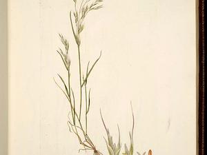 North Africa Grass