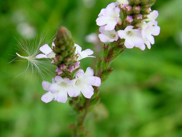 Herb Of The Cross (Verbena Officinalis) http://www.sagebud.com/herb-of-the-cross-verbena-officinalis/