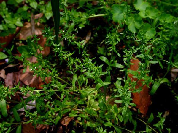 Neckweed (Veronica Peregrina) http://www.sagebud.com/neckweed-veronica-peregrina