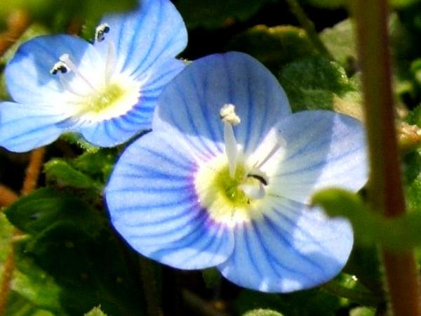 Birdeye Speedwell (Veronica Persica) http://www.sagebud.com/birdeye-speedwell-veronica-persica/