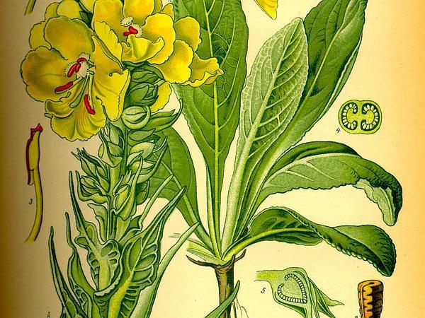 Orange Mullein (Verbascum Phlomoides) http://www.sagebud.com/orange-mullein-verbascum-phlomoides/