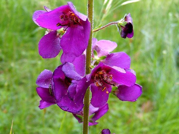 Purple Mullein (Verbascum Phoeniceum) http://www.sagebud.com/purple-mullein-verbascum-phoeniceum