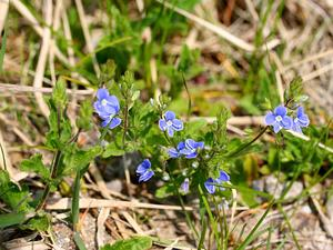 Gray Field Speedwell